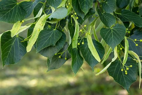 How To Identify Basswood