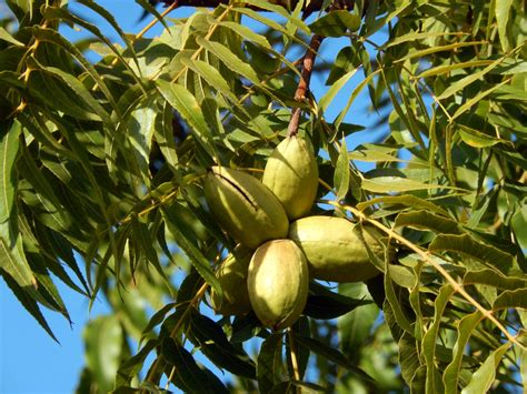 How To Identify Hickory