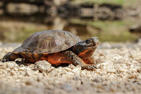 How To Identify Wood Turtles