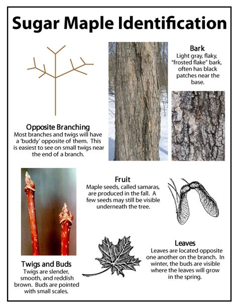 How To Tell A Sugar Maple Tree By The Bark