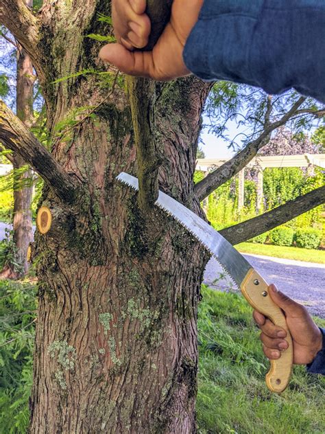 How To Trim A Bald Cypress Tree