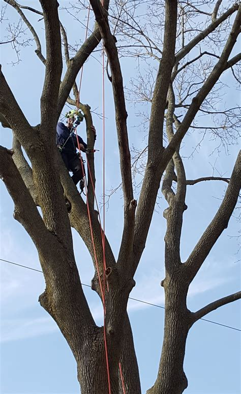 How To Trim Aspen Trees