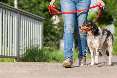 How to train a dog to heel when older.aspx Image