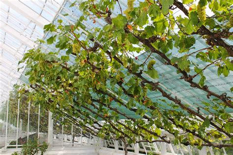 How To Grow A Grape Vine In A Greenhouse And How To Grow Sweet Potato Vine From Cuttings