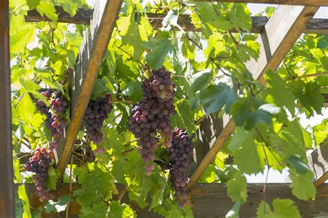 How To Grow Grapes Plant At Home And Do Most Wineries In Burgundt Grow Their Own Grapes