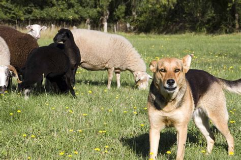 How To Train Your Dog To Herd And In Tune Dog Training