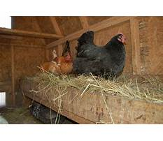 Best How to make chicken coop less smelly