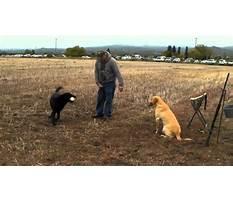 Best How to train labrador retriever to hunt.aspx
