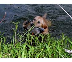 Best Labrador retriever hunting training videos