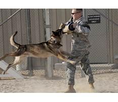 Best Malinois attack dog training.aspx