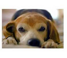 Best Pee pad trained dog peeing on carpet.aspx