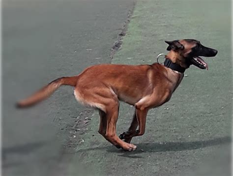 Pre trained service dogs for sale.aspx Image