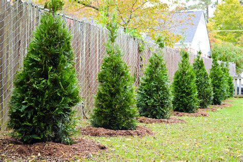 Privacy Fence Plants