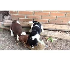 Best Rabbit breeds for training beagles.aspx