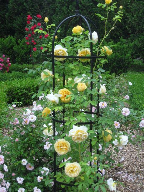 Rose-Bush-Trellis-Ideas