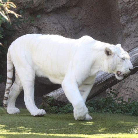 Stripeless White Tiger