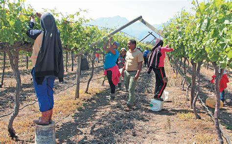 Table-Grapes-Farming