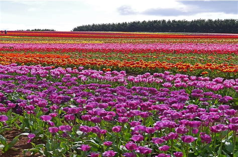 Table-Top-Tulip-Farm-Tasmania