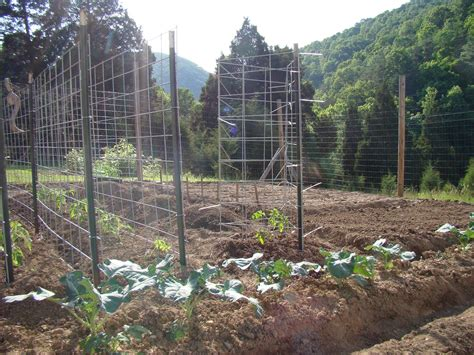 Tomato Cages Plans Made From Cattle Panel