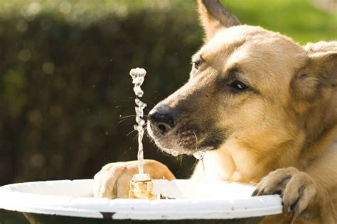 Train dog to drink water Image