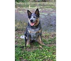 Best Train cattle dog
