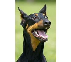 Best Train doberman dog