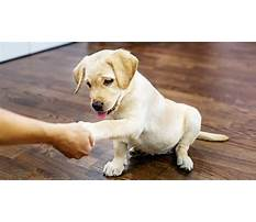 Best Training lab puppies
