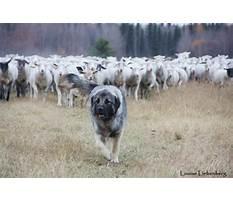 Best Training livestock guardian dogs.aspx