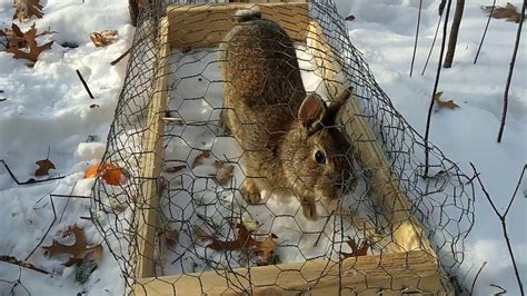 Trapping rabbits on youtube Image