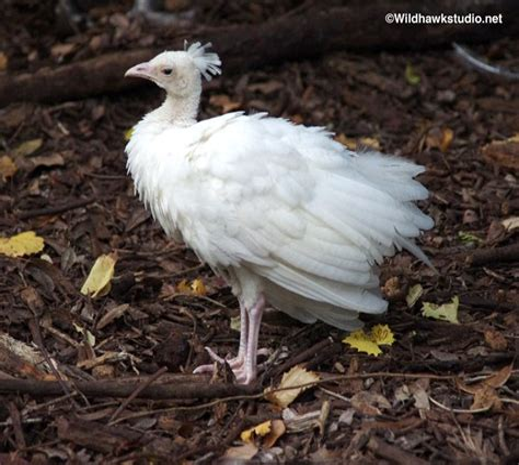 White Baby Peacock