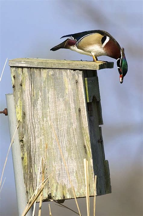 Wood Duck House Plans And Photos