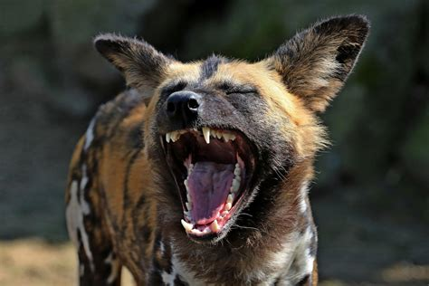 African Wild Dog Aggression
