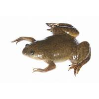 African clawed frog or clawed toad the complete owner's guide tips