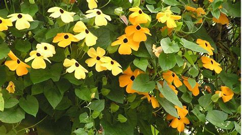 All Summer Flowering Climbers Image