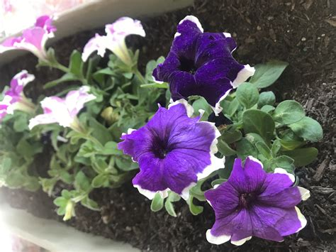 Annuals that flower all summer Image