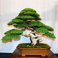 Arboles bonsai comparison