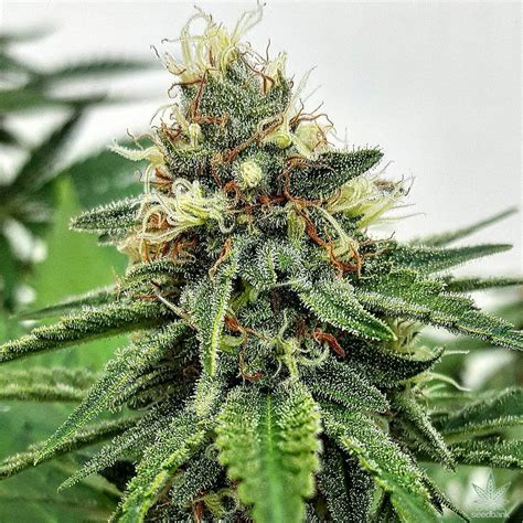Auto Ak 47 Weed