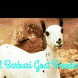 Best 22+ Barbari Goats Of Balochistan in Woodworking Projects
