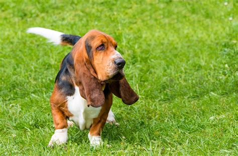 Basset Iphone Wallpapers Free Beautiful  HD Wallpapers, Images Over 1000+ [getprihce.gq]