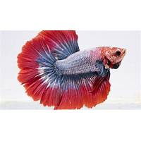 Free tutorial betta fish secrets