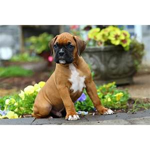 Cash back for boxer dogs a guide to boxer dogs