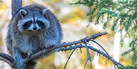 Can You Kill A Raccoons With A 22 Air Rifle