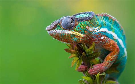 Chameleon Wallpaper HD Wallpapers Download Free Images Wallpaper [1000image.com]