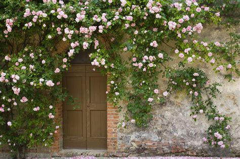 Climbing Rose Vines Image