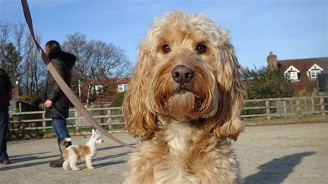 cockapoo dog training youtube.aspx Image