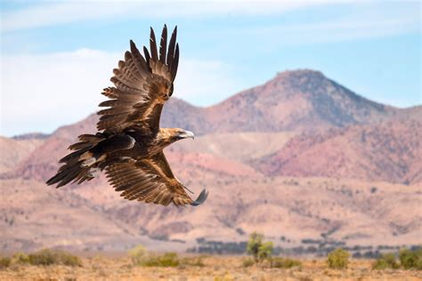 Desert-Eagle Desert Eagle Australia