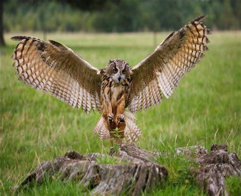 Desert-Eagle Desert Eagle Owl Diet