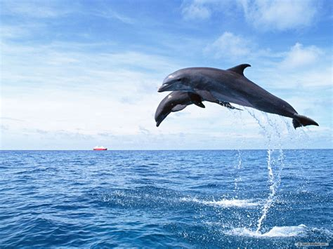 Dolphin Wallpaper HD Wallpapers Download Free Images Wallpaper [1000image.com]