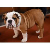 English bulldog health free trial