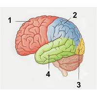 Flash brain anatomy scam